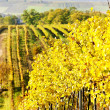 Stock Photo: Vineyard in autumn, Czech Republic