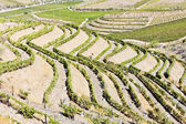 Vineyars in Douro Valley, Portugal — Stock Photo