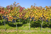 Vineyard, Czech Republic — Stock Photo