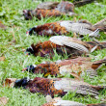 Caught pheasants — Stock Photo