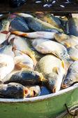 Peces en cuba durante la cosecha estanque — Foto de Stock