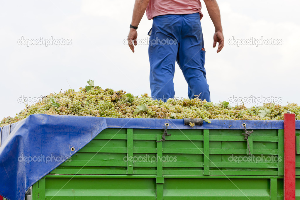 Wine harvest, Castile-La Mancha, Spain — Stock Photo #7587709