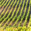 Stock Photo: Vineyars near Tautavel, Languedoc-Roussillon, France