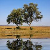 Due alberi nella steppa — Foto Stock