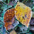 Two autumn leafs in frost — Stock Photo #7470969