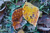 Two autumn leafs in frost — 图库照片