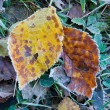 Two autumn leafs in frost — Stock Photo #7573847