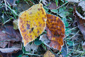 Two autumn leafs in frost — Stock Photo