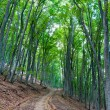 Pathway in beech forest — Stock Photo
