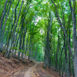 Stock Photo: Pathway in beech forest