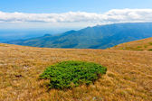 Green bush on autumn meadow in mountains — Stock Photo