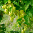 Ripe wild hops — Stock Photo