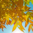Sunlight passes through the autumn leaves — Stock Photo