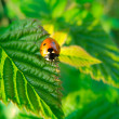 Ladybug crawling on a green leaf — Stock Photo