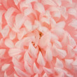 Chrysanthemum — Stock Photo #7135202