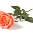 Royalty-Free Stock Photo: Rose isolated