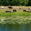 Cows grazed — Stock Photo #7610330