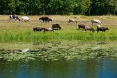 Cows grazed — Stock Photo