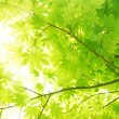 Stock Photo: Green maple leaves with sun beams