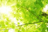 Green maple leaves with sun beams — Stock Photo