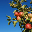 Ripe red apples on branch — Stock Photo