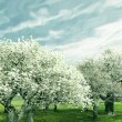 Blossoming cherry-trees — Stock Photo