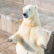 Polar bear — Stock Photo #6822853