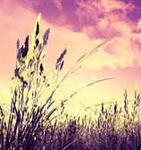 Wheat field in the sunset — Stock Photo