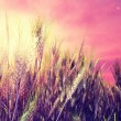 Beautiful wheat field in sunset — Stock Photo #7213470