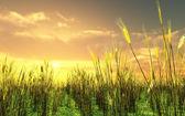 Beautiful sunset over the wheat field — Stock Photo