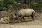 Rhinoceros — Stok fotoğraf