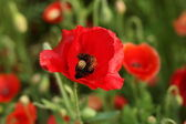 Bee poppy flower — Stock Photo