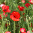 Beautiful poppy flower — Stock Photo #7540807