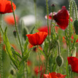 Stock Photo: Beautiful poppy flower