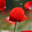 Beautiful poppy flower — Stock Photo #7548952