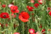 Beautiful poppy flower — Stock Photo