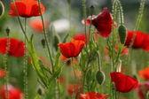 Mooie poppy bloem — Stockfoto