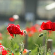 Poppy flower — Stockfoto #7566675