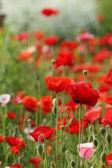 Poppy flower — Photo