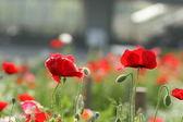Fiore papavero — Foto Stock