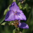 Bee in blue flower — Stock Photo