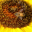 Bee on sunflower — Stock Photo