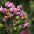 Stock Photo: Crepe myrtle tree