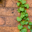 Green Ivy on brick wall — Stock Photo
