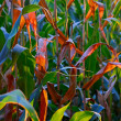 Maize field — Stockfoto #7006444