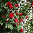Stock Photo: Red Rose Trellis