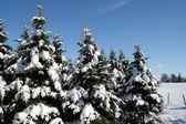 Sněhu krytá jehličnany — Stock fotografie