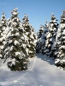 Snowy Evergreen Path — Stock Photo