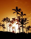 Coconut Palm Tree Silhouettes — Stock Photo