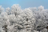 Frosty Forest — Stock Photo
